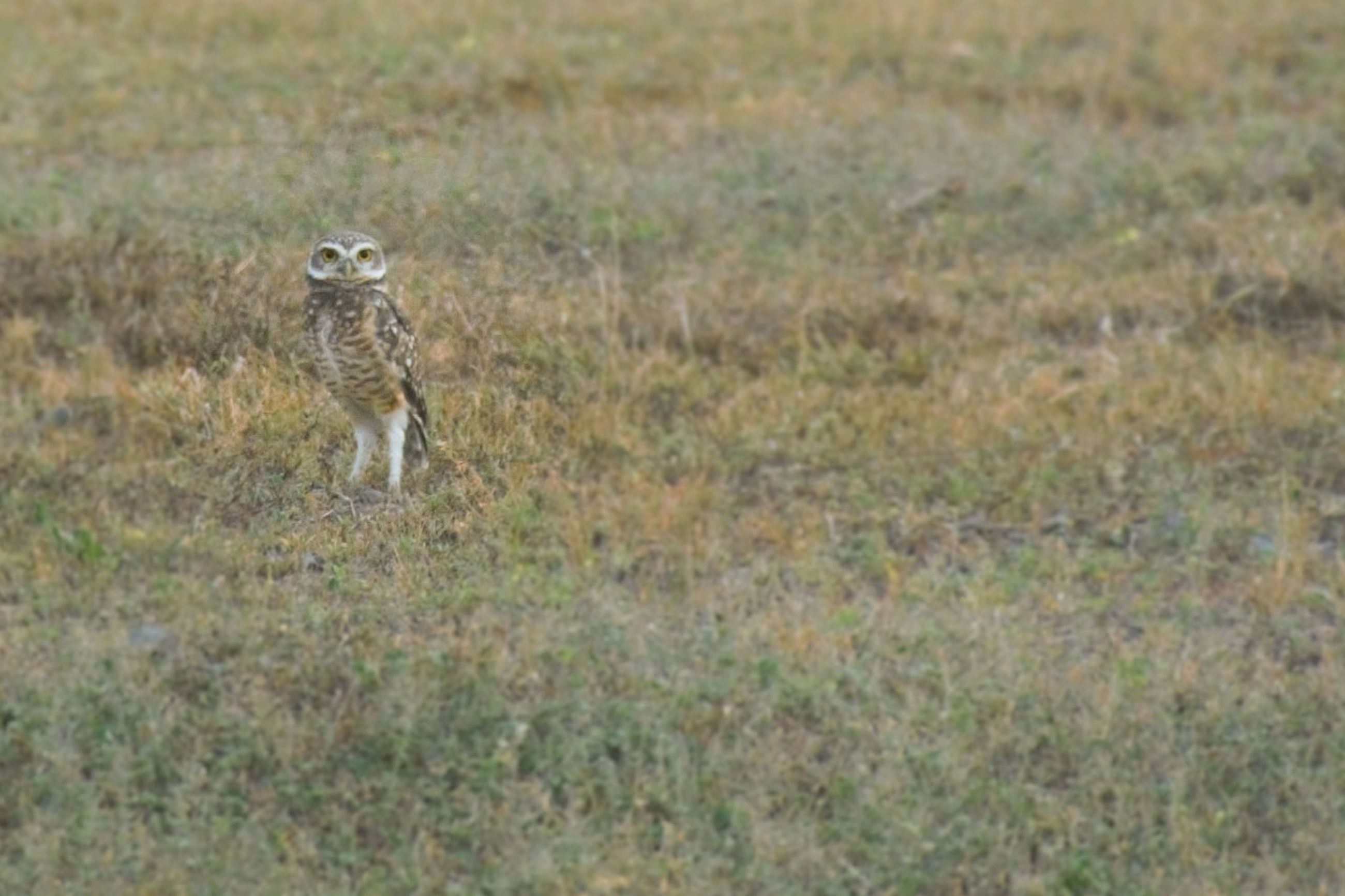 animal wildlife, animals in the wild, one animal, mammal, grass, no people, vertebrate, full length, plant, nature, land, portrait, day, landscape, safari, survival, looking at camera, stealth