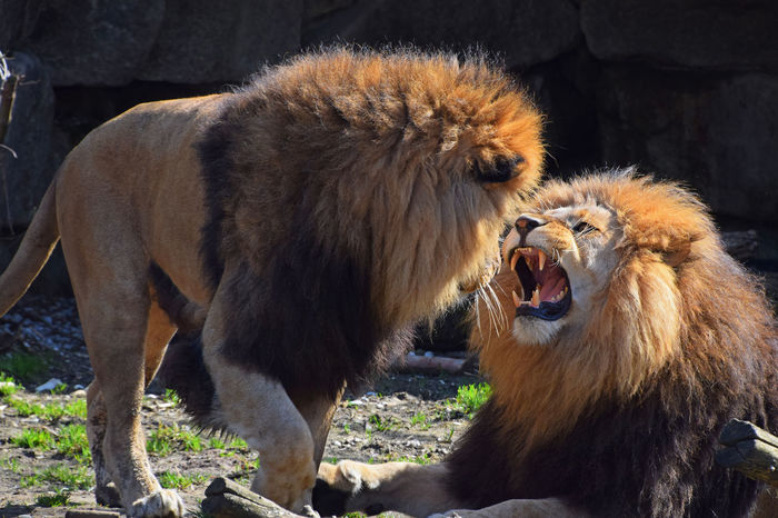 Two African lion males roar and fight in family quarrel Aggressive Animal Behavior Animal Family Animal Themes Animals In The Wild Conflict Danger Day Fight Lion Lion - Feline Male Mammal Mouth Open Outdoors Quarrel Roar Roaring Teeth Two Two Animals Wildlife Wildlife & Nature Wildlife Photography Zoo
