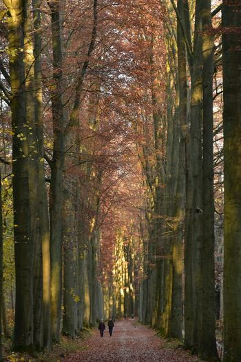 In A Row Beech Forest Sonian Forest Light Effect Idyllic Autumn colors Tree Plant Growth Nature Tree Trunk Trunk Beauty In Nature The Way Forward Forest Tranquility Land Day Direction Outdoors Sunlight Footpath Autumn Tranquil Scene