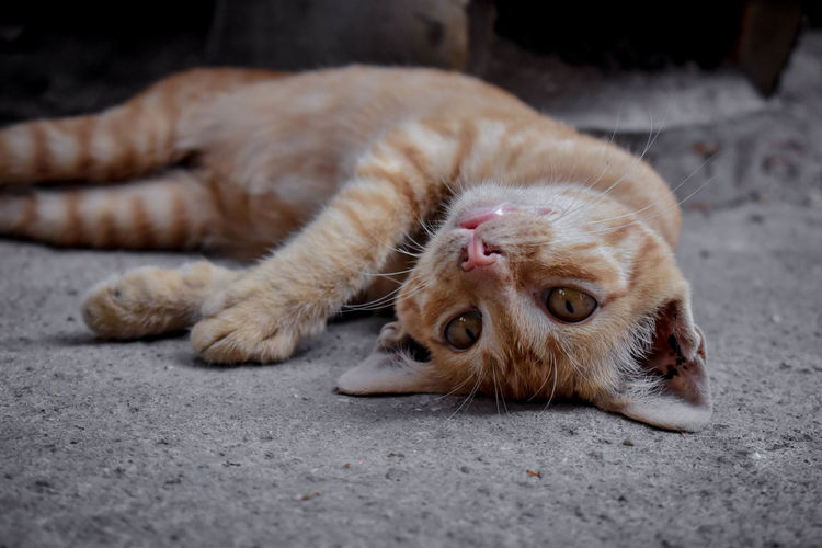 One Animal Animal Themes Animal Cat Mammal Domestic Cat Feline Vertebrate Domestic Pets Relaxation Domestic Animals Lying Down No People Footpath Whisker Close-up Animal Body Part Street City Ginger Cat Animal Eye