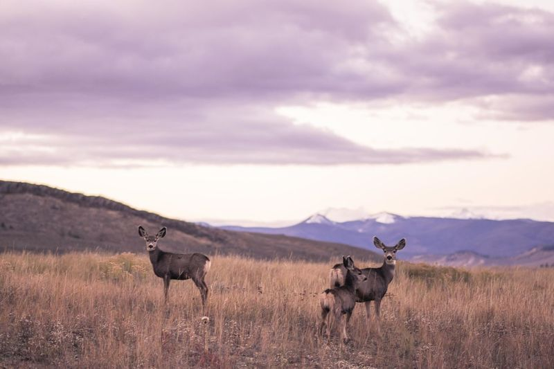 Stags standing on grassy field against cloudy sky