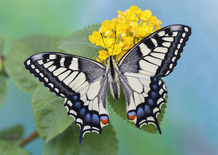 Macro Photography Papilio Machaon Animal Animal Themes Animal Wildlife Animals In The Wild Beauty In Nature Butterfly Butterfly - Insect Close-up Flower Flower Head Focus On Foreground Insect Invertebrate Macaone Nature No People Papilio Yellow