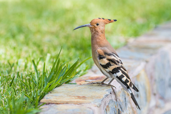 Animal Themes Animal Wildlife Animals In The Wild Bird Close-up Day Focus On Foreground Full Length Hoopoe Nature No People One Animal Outdoors Perching EyeEmNewHere