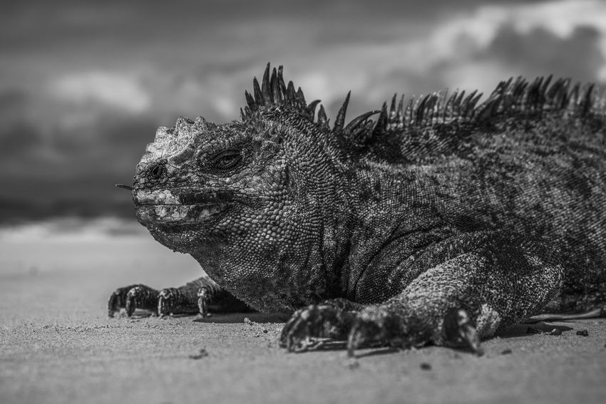 Marine iguana, Isabela Island, unique animal of the Galapagos Islands Animals In The Wild Black & White Galapagos Galapagos Islands Wildlife & Nature Animal Animal Portrait Animal Themes Animal Wildlife Animals Animals In The Wild Black And White Close-up Dragon Like Ecuador Focus On Foreground Iguana Lizard Marine Marine Iguana Nature No People One Animal Reptile Wildlife
