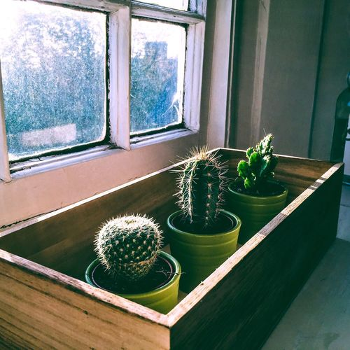 Morning light through a window. Window Cactus Thorn Growth Plant Potted Plant Indoors  Window Sill Spiked Day Home Interior No People Morning Morning Light Morning Sun