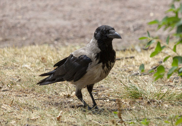 Crow Animal Wildlife Animals In The Wild Bird Black Color Crow Grass Nature One Animal Side View