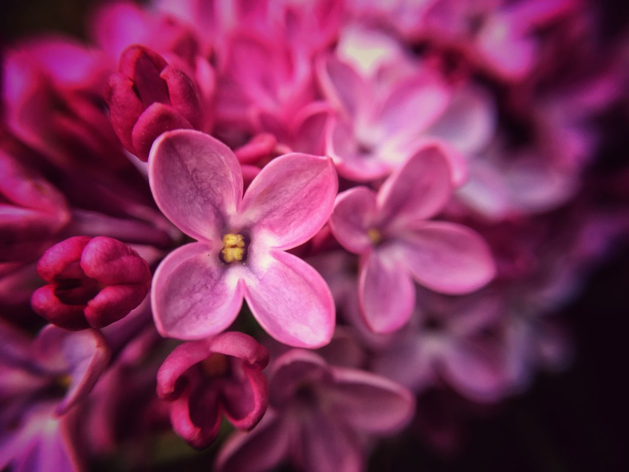 flower, petal, nature, blooming, growth, beauty in nature, no people, close-up, flower head, outdoors, day