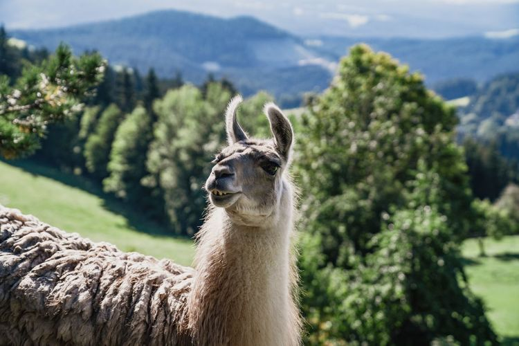 Lama in the austrian alps with beautiful scenic panorama mountain view