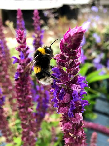 The hard working wee bumble bee Purple Insect One Animal Nature Bee Pollination Beauty In Nature Animals In The Wild Outdoors EyeEmNewHere