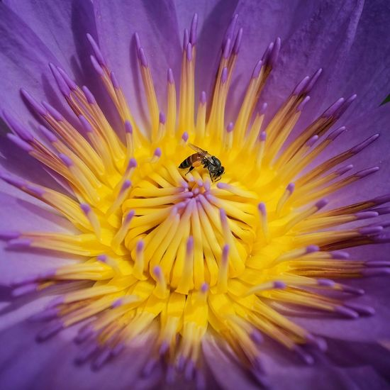 Close-Up Of Bee Pollinating On Purple Water Lily