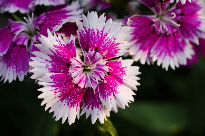 Dianthus Flower Flower Petal Nature Beauty In Nature Flower Head Freshness Growth Plant Outdoors Close-up Blooming Day