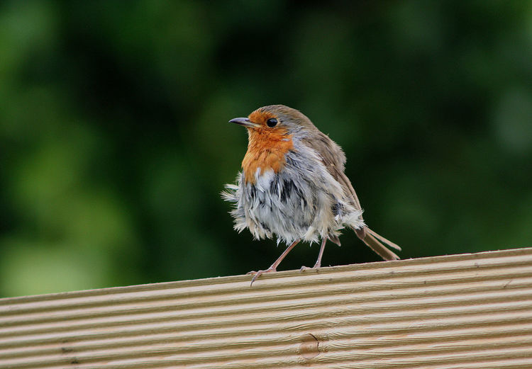 Close-up of robin perching on plank