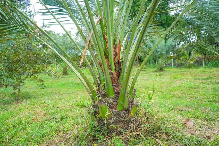 Barhi Dates Dates On Date Palm Barhi Date Palm Date Palm Garde Date Palm Tree Date Palms Plant Plant Part