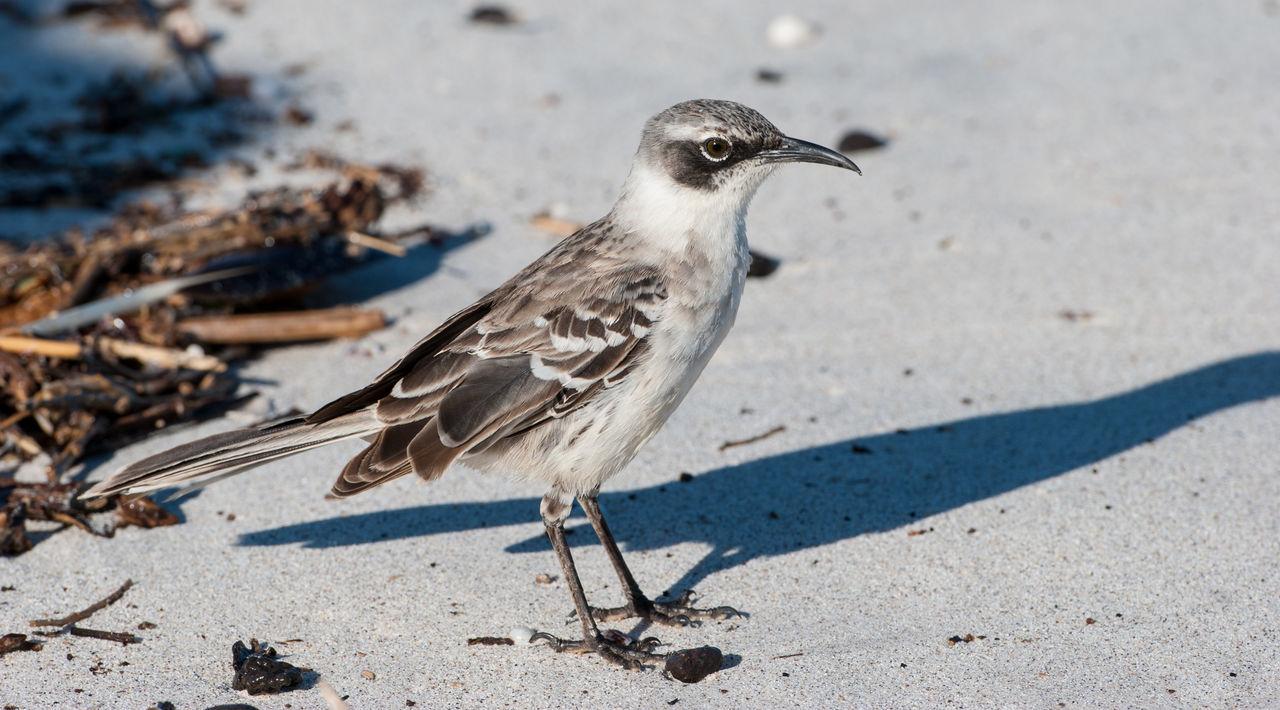 Close-Up Of Mocking Bird Perching On Sand