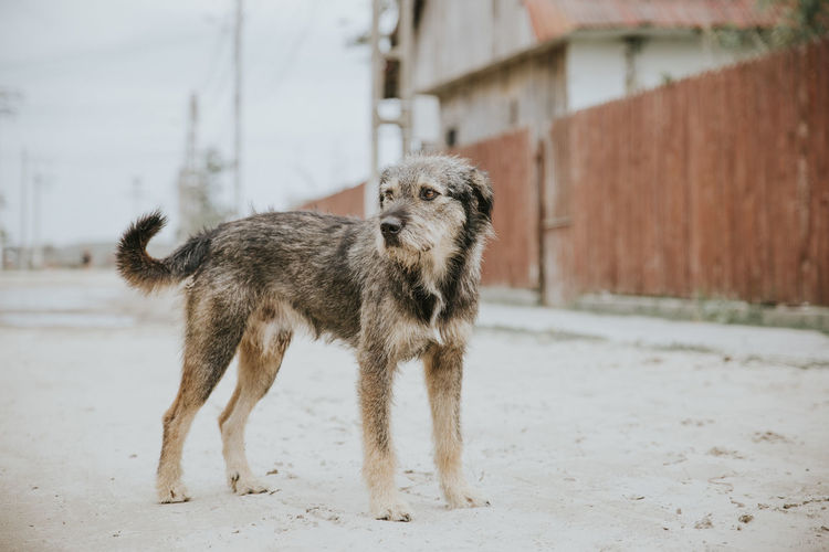 Portrait of a dog walking in front of building