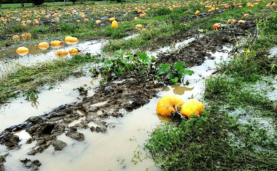Autumn Yellow Puddle Vibrant Color Orange Color Water Day Fruit Orange Freshness Multi Colored Beauty In Nature Colorful Green Color