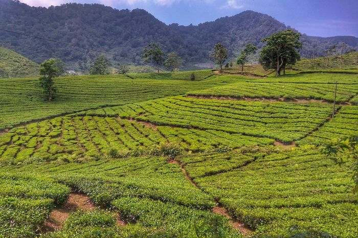 Checkpoint Tea Garden Landscape . Hills Nature Naturelovers at Ciater Lembang Subang Bandung