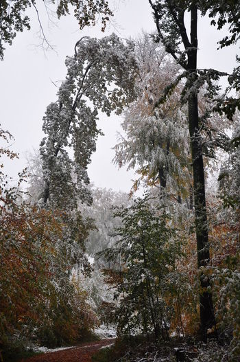 Autumn Autumn Colors Autumn Leaves Foliage Plant Forest Path Forestry Weather Phenomenon Beech Tree Beech Trees Early Snowfall Forest Snow Snow Bending Trees Snow Covered Unusual Weather Weather Condition Winter Damage