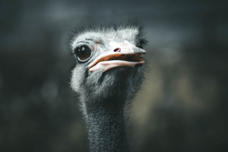 Ostrich head with white feathers