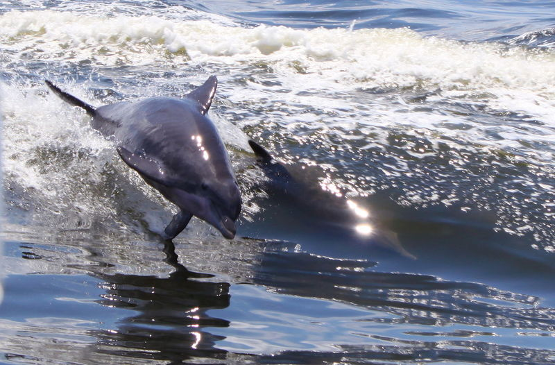 dolphin playing in waves Animal Themes Animals In The Wild Dophin Motion Playing Reflection Splashing Sunbeam Tranquility Water Water Surface