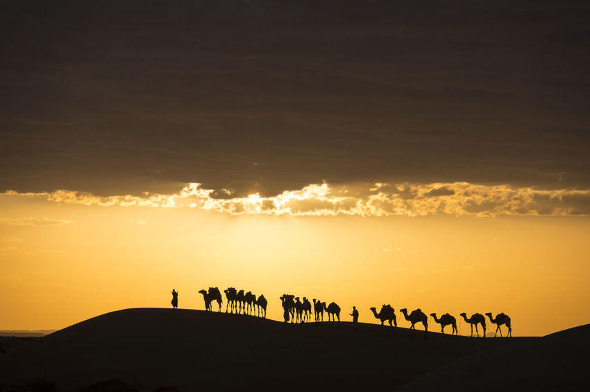 camel Caravan is crossing the Sahara desert at sunset and dramatic sky Sky Sunset Silhouette Cloud - Sky Scenics - Nature Beauty In Nature Group Of People Nature Land Real People Group Of Animals Tranquil Scene Tranquility Leisure Activity Lifestyles Outdoors Sunrise Sahara Desert Camel Caravan Orange Sky Dramatic Clouds Yellow Orange Color Non-urban Scene Idyllic Landscape Animal Themes