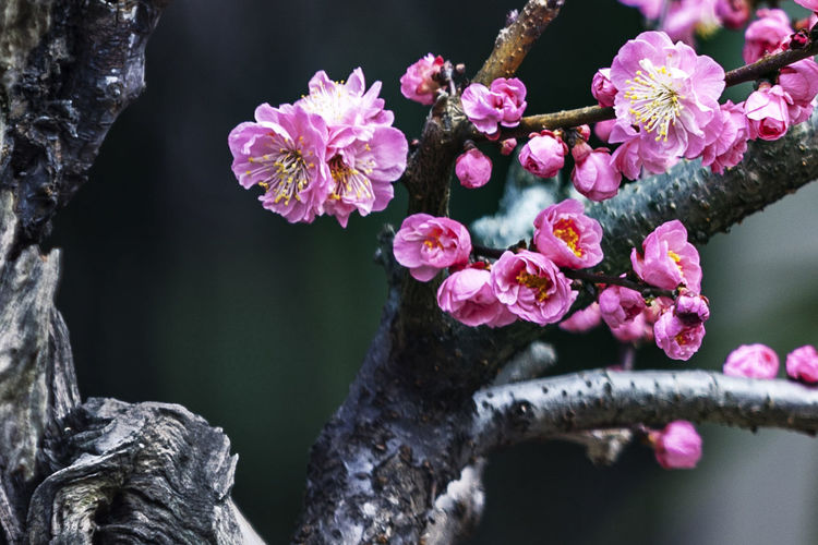 Low Angle View Of Plum Blossoms