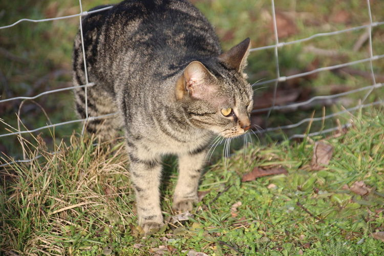 Close-up of a cat standing on field