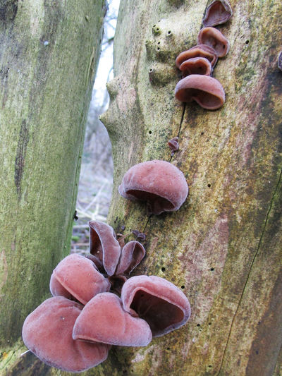 Close-up Fungi Fungi On Tree Fungus Growth Jelly Ear Fungi Jews Ear Fungi Nature Outdoors