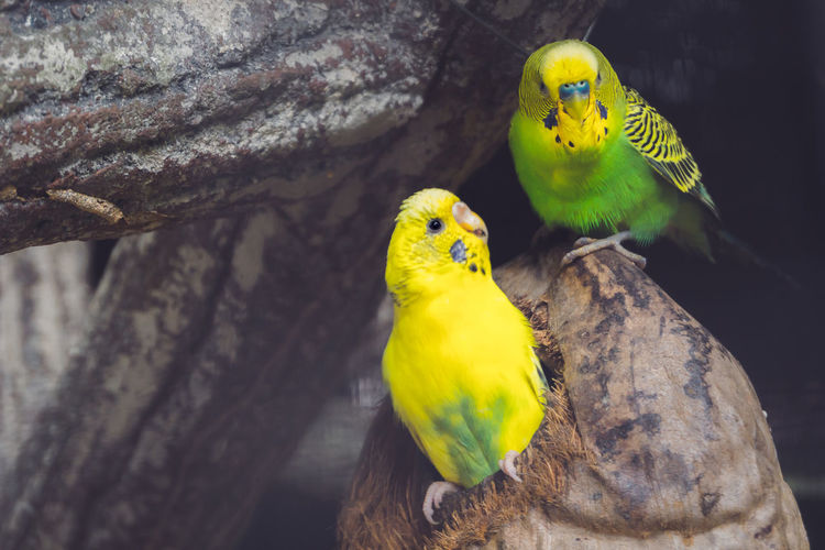 couple beautiful bird Wing Animal Themes Animal Wildlife Animals In The Wild Beauty In Nature Bird Budgerigar Close-up Cute Day Domestic Animals Female Animal Green Color Mammal Nature No People Outdoors Parakeet Parrot People Perching Togetherness Tree Yellow Zoology