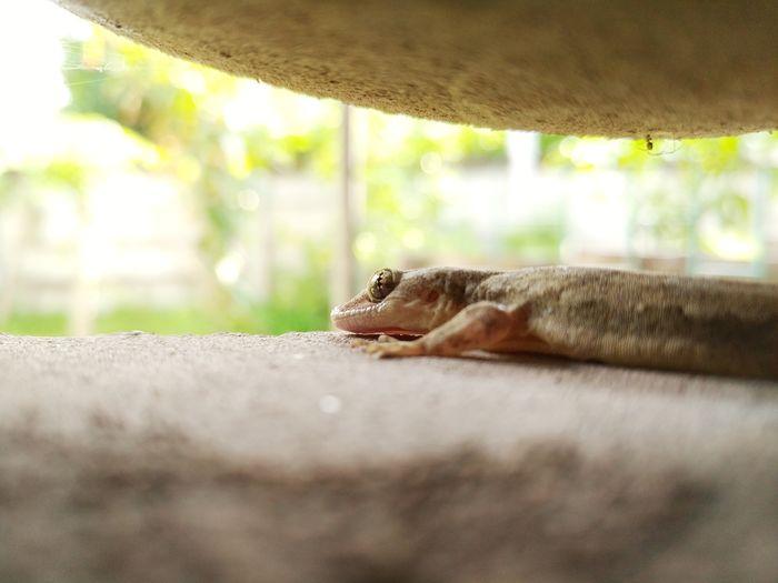 One Animal Animal Wildlife Day Animals In The Wild Animal Themes Nature No People Outdoors Mammal Leopard Close-up Lizard Hemidactylus Gekko Reptile