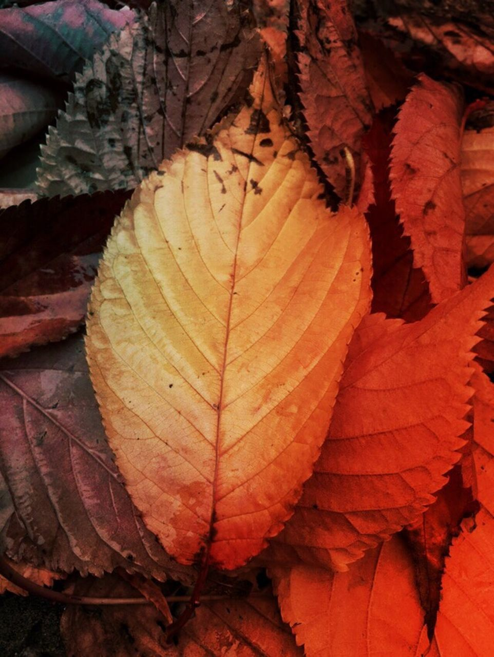 leaf, autumn, change, dry, nature, day, outdoors, no people, close-up, maple, maple leaf, beauty in nature