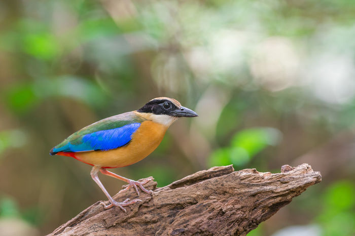 Animal Animal Themes Animal Wildlife Animals In The Wild Beauty In Nature Bird Birds_collection Branch Forest Multi Colored Nature One Animal Outdoors Perching Pitta Vibrant Wild Wildlife