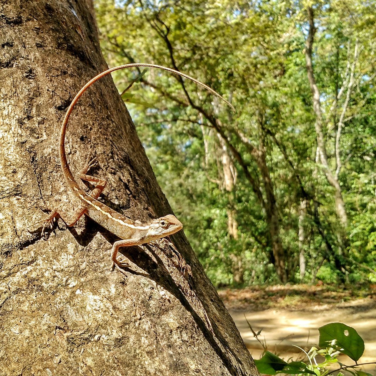 tree, one animal, day, tree trunk, animal themes, nature, animal wildlife, focus on foreground, animals in the wild, no people, outdoors, reptile, branch, close-up, iguana