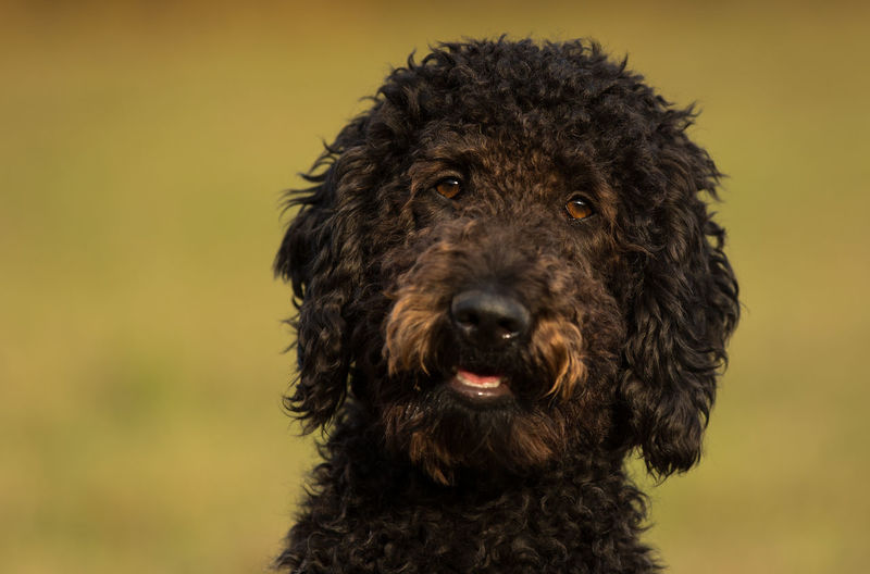 Close-up portrait of brown labradoodle looking at camera
