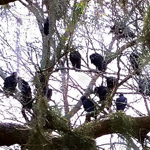 Animals In The Wild Beak Beauty In Nature Bird Birds Branch Buzzard  Committee Low Angle View Nature Nature Outdoors Perching Texas Tree Venue Volt Vulture Wildlife Zoology