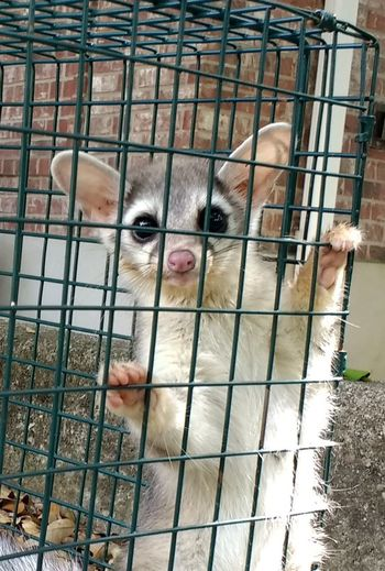 Animal Animal Head  Animal Themes Cage Close-up Day Domestic Animals Furries In My Attic Mammal No People Outdoors Portrait Ring Tailed Cat