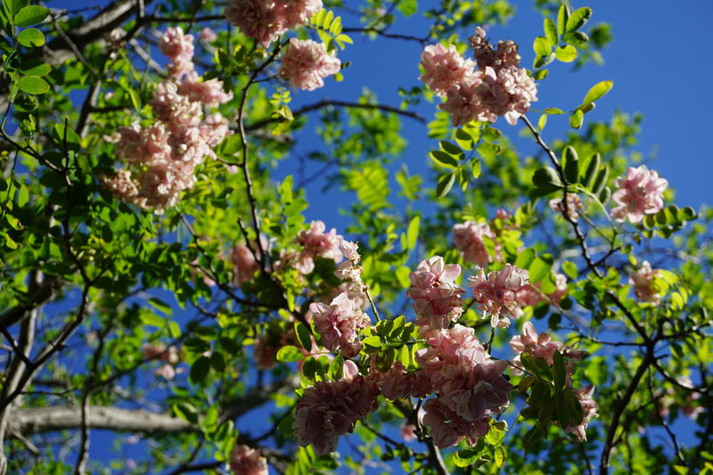 Robinia Viscosa Flower Leaf Plant Tree Blue Growth Green Color Branch Sky Plant Part Close-up Freshness Flower Head Pink Flower Outdoors Day Nature Beauty In Nature Backgrounds in University Of Western Australia