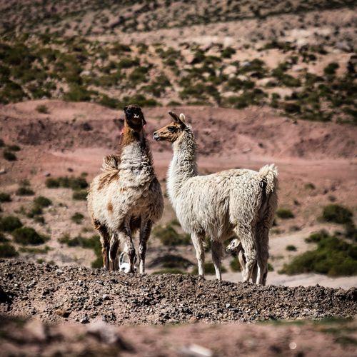 Wilde lamas