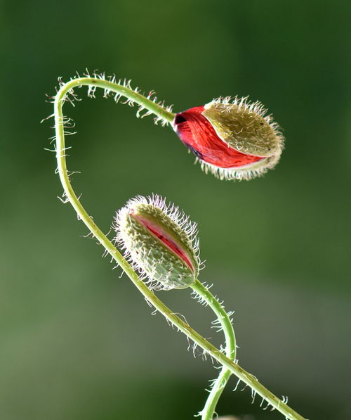 Close-up Day Flower Fragility Freshness Grass Green Color Leaf Nature No People Outdoors Poppy Buds Poppy Flowers Studio Shot Tendril