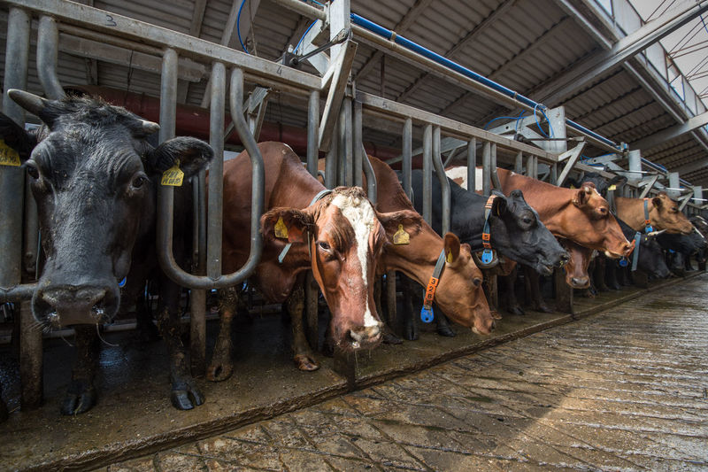 View Of Cows In Shed