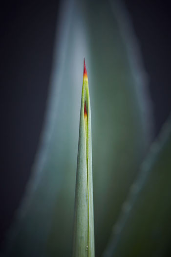 Agave Agave Leaf Agave Agave Plant Close-up Green Color Leaf Nature No People Outdoors Plant