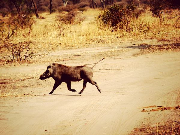 Tansania 2008 Tarangire Warthog Flying Pigs Landscape Africa Bestshot EyeEmBestPics Shotoftheday EyeEm Masterclass Bestoftheday My Favorite Photo Check This Out EyeEm Nature Lover Pig Warthogs