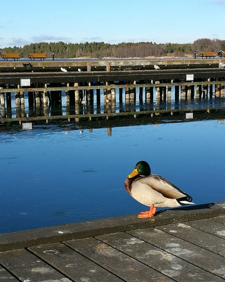 Donald Lake Water Outdoors Nature One Animal Bird Duck Beauty In Nature No People Sky Day Pier Cloud - Sky Urban Skyline Beauty In Nature Sea Reflection Clear Sky Boat Boats And Clouds City