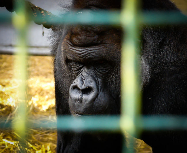 Close-up of gorilla in a cage