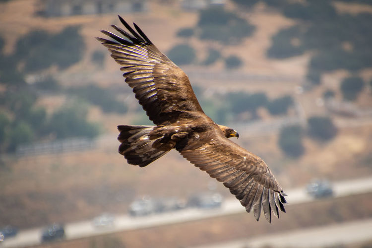 Golden eagle flying over busy freeway