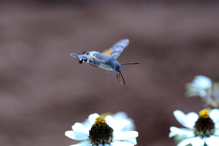 Hummingbird hawk-moth flying over white flowers