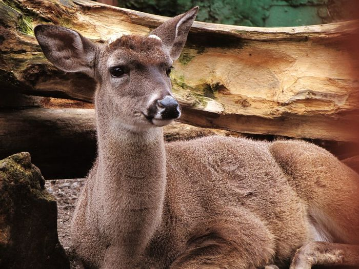 Close-up of deer resting against tree at forest