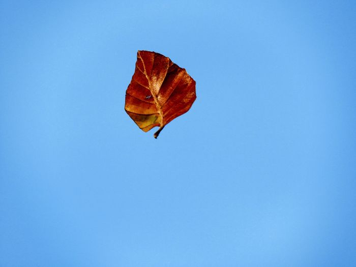 Close-Up Of Maple Leaf Against Clear Blue Sky