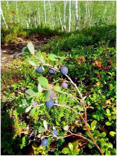 Норильск.Тундра голубика Nature Green Color Tree