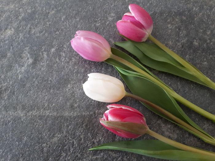 Tulpe auf